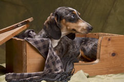 Dachshund in a box Royalty Free Stock Images