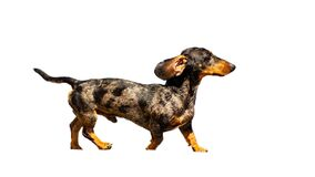 The dachshund is a breed of canids characterized by the height proportionally less than the length. It is a hunting.