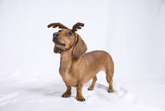 A Dachshund breed dog. Look like a deer royalty free stock images