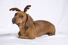 A Dachshund breed dog. Look like a deer royalty free stock photos