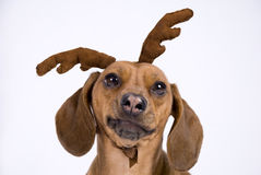 A Dachshund breed dog. Look like a deer royalty free stock photo