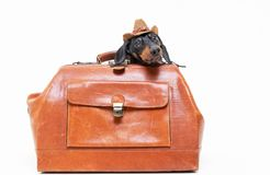 Dachshund breed dog, black and tan, in a cowboy hat hid in a vintage suitcase for travel, isolated on gray background.  stock photos