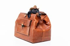 Dachshund breed dog, black and tan, in a cowboy hat hid in a vintage suitcase for travel, isolated on gray background.  royalty free stock image
