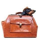 Dachshund breed dog, black and tan, in a cowboy hat hid in a vintage suitcase for travel, isolated on white background.  royalty free stock photo