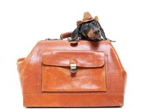 Dachshund breed dog, black and tan, in a cowboy hat hid in a vintage suitcase for travel, isolated on white background.  stock photos