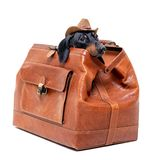 Dachshund breed dog, black and tan, in a cowboy hat hid in a vintage suitcase for travel, isolated on white background.  stock photography