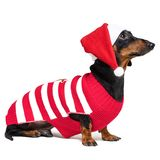 Dachshund breed dog, black and tan, wearing in red Christmas Santa Claus hat and costume isolated on a white background stock photo