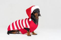 Dachshund breed dog, black and tan, wearing in red Christmas Santa Claus hat and sweater on a gray background stock images
