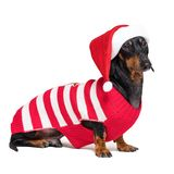 Dachshund breed dog, black and tan, wearing in red Christmas Santa Claus hat and sweater isolated on a white background stock photos