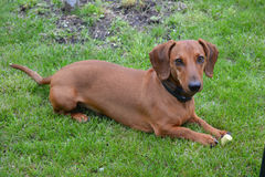 Dachshund breed dog. Lying and looking at the camera faithfully Royalty Free Stock Photography