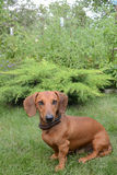 Dachshund breed dog sits on a green lawn. Faithful dog breed dachshund sitting on the green lawn Stock Photos