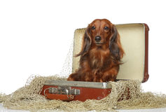 Dachshund brown in old suitcase Stock Images