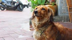 Home pet dachshund brown puppy stock photos