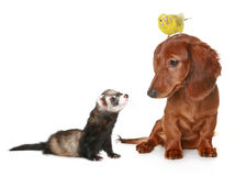 Dachshund, budgerigar and freet Stock Images
