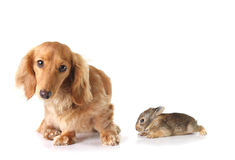 Dachshund and the bunny Stock Images