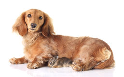 Dachshund and bunny Stock Photo