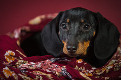 Dachshund burgundy background royalty free stock photo