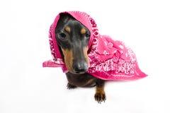 Dachshund - cane di salsiccia con il bandanna Immagine Stock