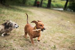 Dachshund with a cane in his teeth playing catch-up. With a mongrel Stock Image