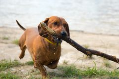 Dachshund with a cane in his teeth runs. Along the shore of the lake Stock Photos