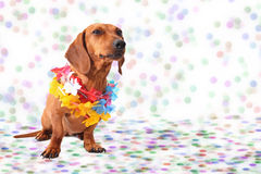 Dachshund at Carnival background. Dachshund at Carnival Party time background Royalty Free Stock Image
