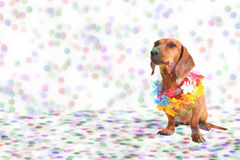 Dachshund at Carnival party. Time theme Royalty Free Stock Image