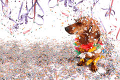 Dachshund at Carnival salon. With confetti falling on its head Stock Images