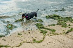 Singapore, June 3, 2018: Angry Dachshubd biting ocean algea stock photos