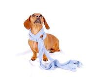 Dachshund che porta una sciarpa Immagine Stock Libera da Diritti
