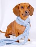 Dachshund che porta una sciarpa Immagini Stock