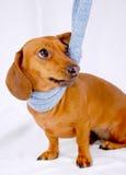 Dachshund che porta una sciarpa Fotografia Stock