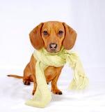 Dachshund che porta una sciarpa Fotografie Stock