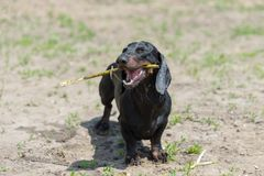 Dachshund chewing stick after swimming on beach Royalty Free Stock Photos