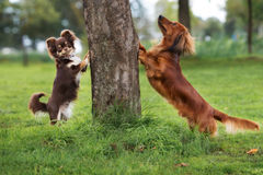 Dachshund and chihuahua dogs posing outdoors Stock Photography