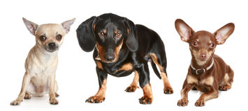 Dachshund, chihuahua, toy terrier Stock Photo