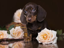 Dachshund of chocolate color Stock Photography