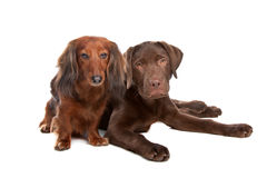 Dachshund and a chocolate labrador pup Stock Photography