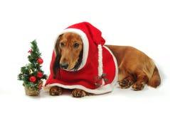 Dachshund and christmas Stock Photos