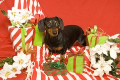 Dachshund and Christmas Presents Stock Images