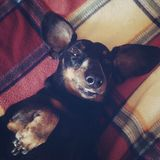 Dachshund close up Royalty Free Stock Photography