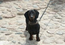 Dachshund on  cobblestone street. Black and tan dachshund on  cobblestone street Royalty Free Stock Photo