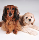 Dachshund and Cocker Spaniel. Little dachshund and cocker spaniel puppy together posing Stock Photography