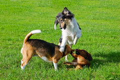 Dachshund, collie, beagle playing outdoors Stock Photo