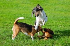 Dachshund, collie, cane da lepre che gioca all'aperto Fotografia Stock