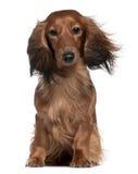 Dachshund con su pelo en el viento fotografía de archivo