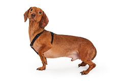 Dachshund crossbreed dog wearing harness Royalty Free Stock Image