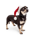 Dachshund Crossbreed Dog Wearing Santa Hat Royalty Free Stock Image
