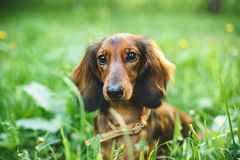 Dachshund in Dandelions. Dachshund laying in green grass with dandelions royalty free stock photos