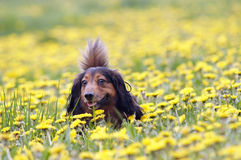 Dachshund on the dandelions meadow Stock Photo