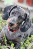 dachshund dapple Стоковые Фотографии RF